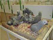 Healthy Parrots, chicks and fertile eggs ready for sale.